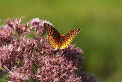 Great Spangled Fritillary. (Speyeria cybele), North American nymphalid butterfly on Joe-Pye weeds (Eutrochium Stock Photo