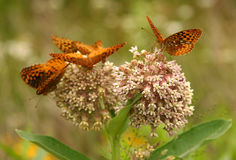 Great spangled fritillary butterflies Royalty Free Stock Image