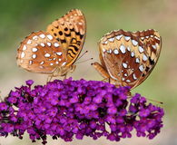 Great Spangled Fritillary Butterflies. A pair of Great Spangled Fritillary butterflies (Speyeria cybele) on a purple butterfly bush flower Stock Image