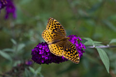 Great Spangled Fritillary Butterfly Royalty Free Stock Photo