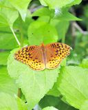 Great Spangled Fritillary Butterfly. A Great Spangled Fritillary Butterfly perched on a tree leaf Stock Photography