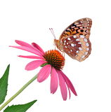Great Spangled Fritillary Butterfly. A Great Spangled Fritillary butterfly (Speyeria cybele) on a purple coneflower isolated on a white background Royalty Free Stock Image