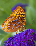 Great Spangled Fritillary butterfly. A macro shot of a Great Spangled Fritillary butterfly (Speyeria cybele) on some purple flowers Royalty Free Stock Photography