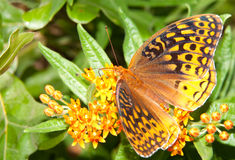 Great Spangled Fritillary butterfly Royalty Free Stock Photos