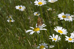 Great Spangled Fritillary Butterfly royalty free stock images