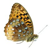 Great spangled fritillary butterfly. Isolated on white Stock Photos