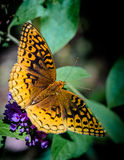 Great spangled fritillary butterfly Stock Photos