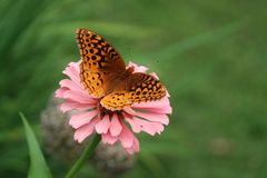 Great Spangled Fritillary butterfly alit on a pink zinnia. Great Spangled Fritillary butterfly rests on a pale pink zinnia blossom growing on a tall stem. The Stock Image