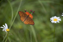 Great spangled fritillary butterfly. Beautiful orange butterfly great spangled fritillary on orange mountain dandelion.  on a green blurry background with white Royalty Free Stock Image