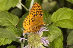 Great spangled fritillary butterfly on bee balm flowers in Conne. Great spangled fritillary butterfly, Speyeria cybele, on wild bergamot flowers at the Belding Royalty Free Stock Photo