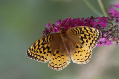 Great-spangled Fritillary on Butterfly Bush. Great-spangled Fritillary (Speyeria cybele) obtaining nectar from a butterfly bush - Grand Bend, Ontario, Canada Royalty Free Stock Images