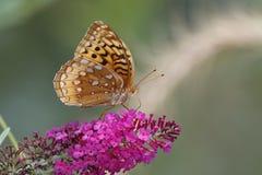 Great-spangled Fritillary on Butterfly Bush Royalty Free Stock Photos