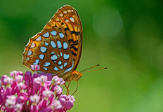Great Spangled Fritillary Butterfly feeds on pink Milkweed plants. Royalty Free Stock Images