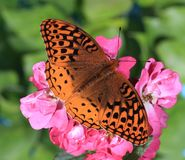 Great Spangled Fritillary Butterfly. A Great Spangled Fritillary butterfly at garden roses Royalty Free Stock Photography