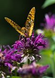 Great Spangled Fritillary. A great Spangled Fritillary Butterfly Pollinates the Garden Royalty Free Stock Photo