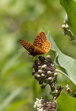 Great Spangled Fritillary butterfly portrait on Milkweed flower,. Great Spangled Fritillary butterfly, Speyeria Cybele, a member of the Nymphalidae family, on Stock Photos
