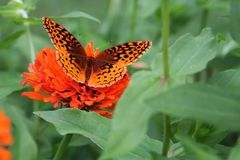 A Great Spangled Fritillary butterfly seeks a meal in a zinnia bed. A Great Spangled Fritillary Butterfly sits atop a redorange zinnia blossom in a summer garden Royalty Free Stock Images