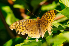 Free Great Spangled Fritillary Butterfly - Speyeria Cybele Stock Photo - 75505840