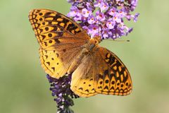 Great Spangled Fritillary Butterfly. & x28;Speyeria cybele& x29; on Butterfly Bush Flowers Royalty Free Stock Images