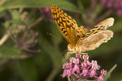 Great spangled fritillary butterfly on milkweed flowers in Verno. Great spangled fritillary butterfly, Speyeria cybele, on milkweed flowers at the Belding Stock Photography