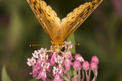 Great spangled fritillary butterfly on milkweed flowers in Verno. Great spangled fritillary butterfly, Speyeria cybele, on milkweed flowers at the Belding Royalty Free Stock Images