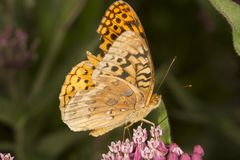 Great spangled fritillary butterfly on milkweed flowers in Verno. Great spangled fritillary butterfly, Speyeria cybele, on milkweed flowers at the Belding Royalty Free Stock Photography