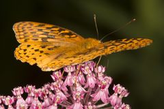 Great spangled fritillary butterfly on milkweed flowers in Verno. Great spangled fritillary butterfly, Speyeria cybele, on milkweed flowers at the Belding Stock Images