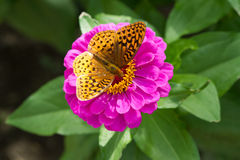 Great Spangled Fritillary Butterfly, Speyeria Cybele, on Purple Zinnia Flower Royalty Free Stock Images