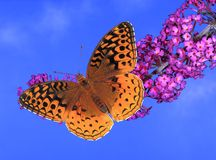 Great Spangled Fritillary butterfly (Speyeria cybele) Royalty Free Stock Image