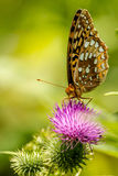 Great Spangled Fritillary Butterfly on Thistle Flower Stock Images