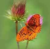 Great Spangled Fritillary Butterfly on a Thistle Flower. With a green background stock photos