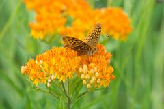 Great Spangled Fritillary. Butterfly on butterfly weed in Missouri royalty free stock photography