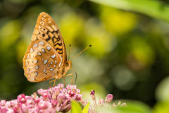 Great Spangled Fritillary. A close up of a Great Spangled Fritillary feeding on a flower in the garden Royalty Free Stock Images