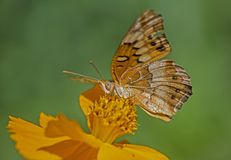 Great Spangled Fritillary Butterfly feeds on a yellow Zinnia. A Great Spangled Fritillary feeds a yellow Zinnia blooms stock photo