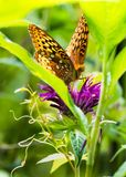 Great Spangled Fritillary. A great Spangled Fritillary Butterfly Pollinates the Garden Stock Photography