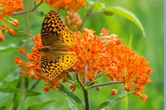 Great Spangled Fritillary. On butterfly weed in Missouri stock photography