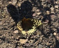 Great Spangled Fritillary. Or Speyeria cybele stock images