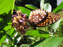 Great Spangled Fritillary on Milkweed Flowers Royalty Free Stock Photo