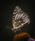 Great Spangled Fritillary. One Great Spangled Fritillary (speyeria cybele) on a coneflower Royalty Free Stock Images