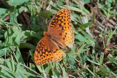 Great Spangled Fritillary. A great spangled fritillary resting on the grass Stock Images