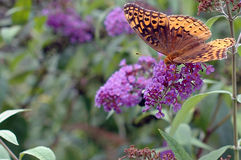 Great Spangled Fritillary (Speyeria cybele) Stock Photos