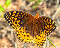 Great Spangled Fritillary. This Great Spangled Fritillary was photographed at a lake in the Northwoods of Wisconsin Royalty Free Stock Photos
