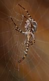 Great spider hanging behind the cobweb Royalty Free Stock Image
