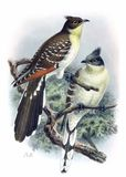Great Spotted Cuckoo Stock Photo