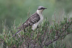 Great-spotted cuckoo, Clamator glandarius Stock Image