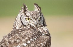 Great Spotted Eagle Owl stare Royalty Free Stock Images