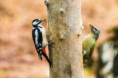 Great Spotted and gray-headed Woodpeckers in a spring forest Stock Photos