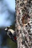 Great Spotted Woodpecker. (Dendrocopos major) approaching his nest with his beak full of tasty insect for his young ones Royalty Free Stock Photo