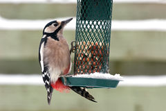 Great Spotted Woodpecker Royalty Free Stock Image