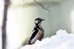 Great Spotted woodpecker. Woodpecker on snowdrift in forest looking ahead Royalty Free Stock Photo